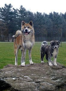 Akita (dog) - Wikipedia, the free encyclopedia