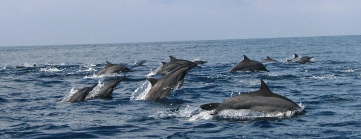 The race of dolphins at Teluk Kiluan, Lampung, Indonesia.