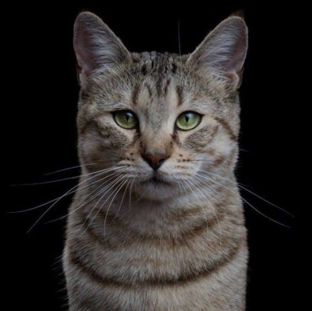 17 Breeds of Cat That Are All Beautiful - We Love Cats and Kittens ~ 13. Pixiebob Cat