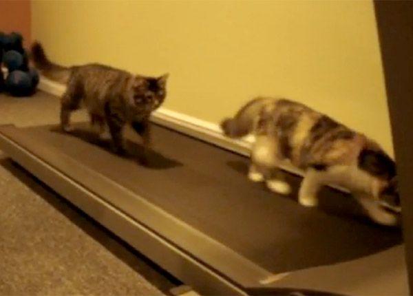 Dou pisici au ajuns la fitness, unde nu se lasa si se antreneaza cu indarjire pe banda de alergare.