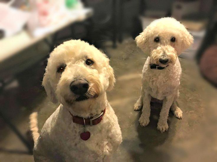 Goldendoodle dog for Adoption in Little Rock, AR. ADN-438114 on PuppyFinder.com Gender: Female. Age: Adult
