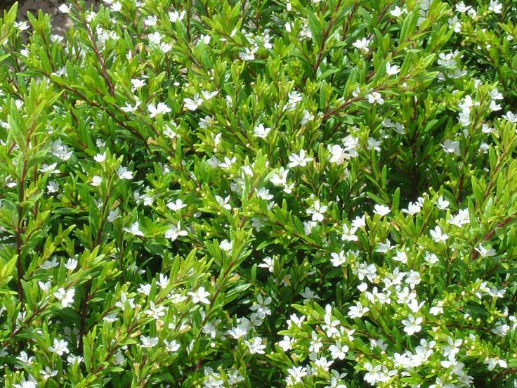 Mexican Heather Cuphea Hyssopifolia Brazilian White