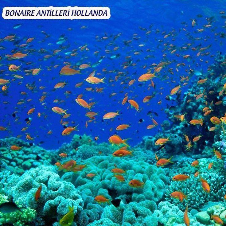 Gezegenin su altı manzaraları muhteşemdir. Buradaki hayatı merak edenler için okyanuslarda bulunan mercan resifleri ve etkileyici deniz balıklarının renkli hayatları kesinlikle nefes kesicidir. Deniz altının gizemli dünyasını keşfetmek isteyen dalış sporunun meraklıları için 5 dalış yeri önerimiz var. #gezginleralemi #gezginleralemicom #tatil #holiday #dalış #diving #bonaireantilleri #tayland #galapagosadaları #greatbarrierreef #palauadaları by gezginleralemi http://ift.tt/1UokkV2