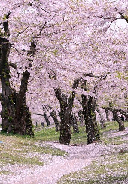 Cherry tree|Goryokaku Park #Hokkaido #Japan