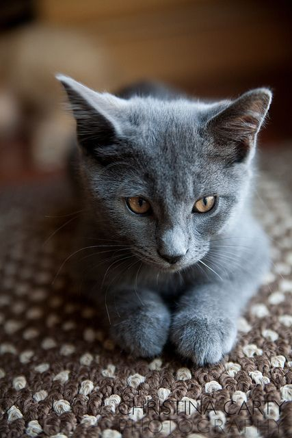 Russian Blue Cat by Christina Carty-Francis, via Flickr