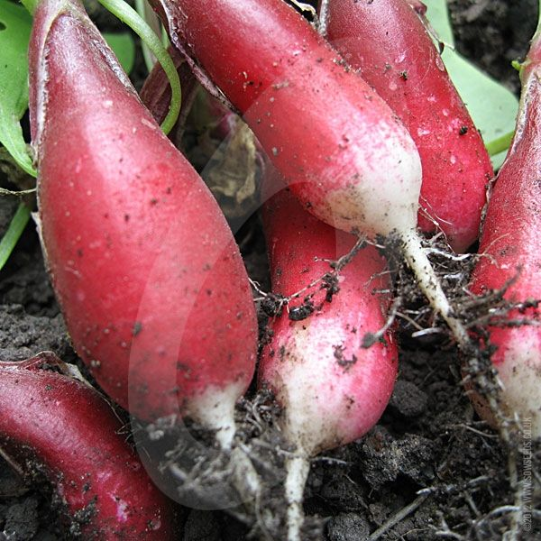 Radish French Breakfast is an easy to grow and quick to crop veg that can pep up your salad (the leaves can be used in salads too!) It is a long oval type with white tips that have a flavour of medium intensity.