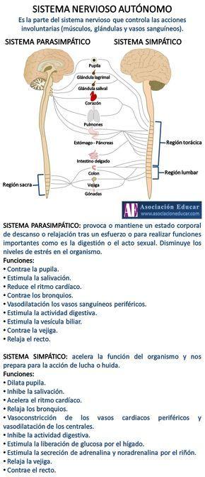 Infografía Neurociencias: Sistema nervioso autónomo; Sistema parasimpático; Sistema simpático. | Asociación Educar