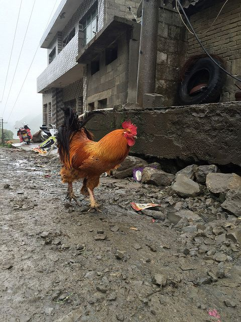 Rooster in Guizhou, China https://www.facebook.com/ACTAsiaForAnimals https://twitter.com/Tweet_ACTAsia https://www.youtube.com/user/ACTAsia1 http://www.oninstagram.com/profile/actasia https://www.linkedin.com/company/actasia-for-animals http://actasia.tumblr.com/