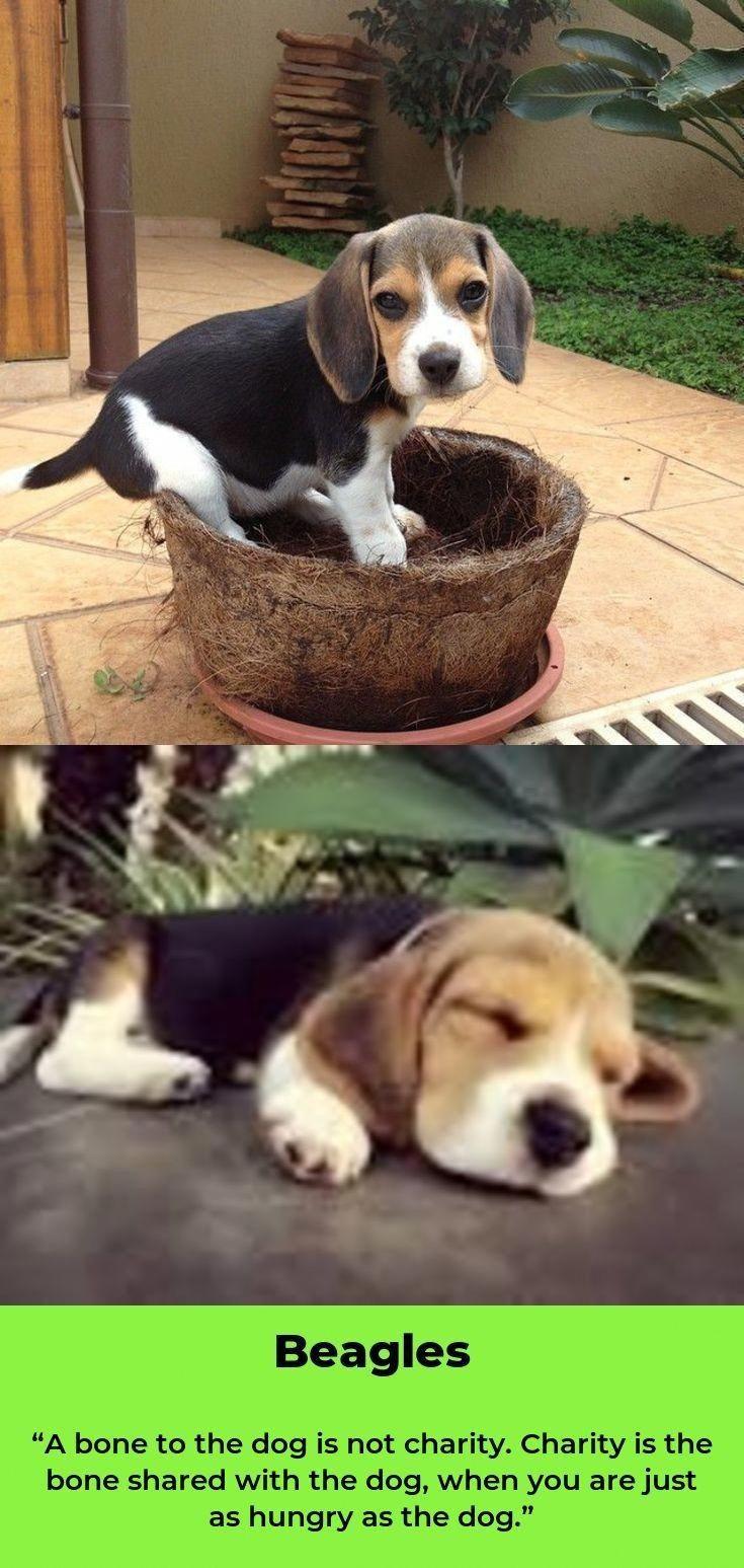 Beagle Training Beagle Dog Beagle Puppy Cute Baby Animals
