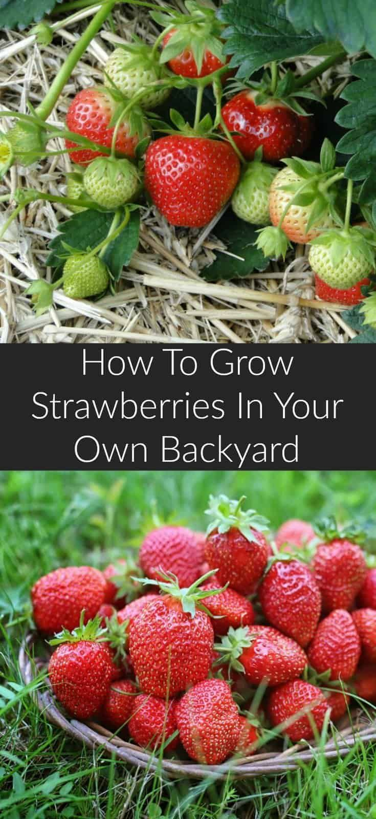 How To Grow Strawberries Growing Strawberries Strawberry Plants Fruit Garden