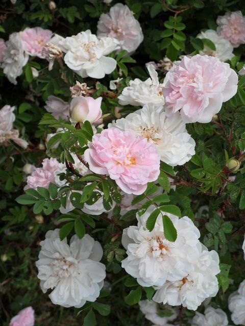 Stanwell Perpetual - rose that doesn't mind the shade.repeat flowering fragrant.5x5ft very hardy even in zone 4 with no protection. #roses