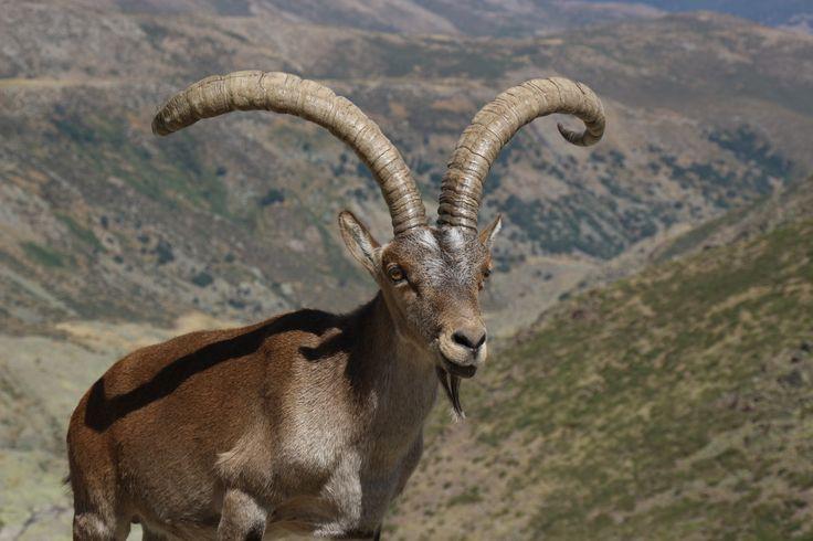 Cabra en la Sierra de Gredos, Ávila, España