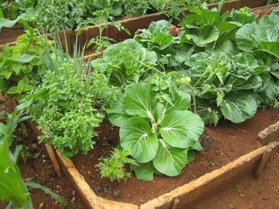 O que é a consorciação de culturas, como fazer e exemplos. What is intercropping / interplanting, how to and examples.