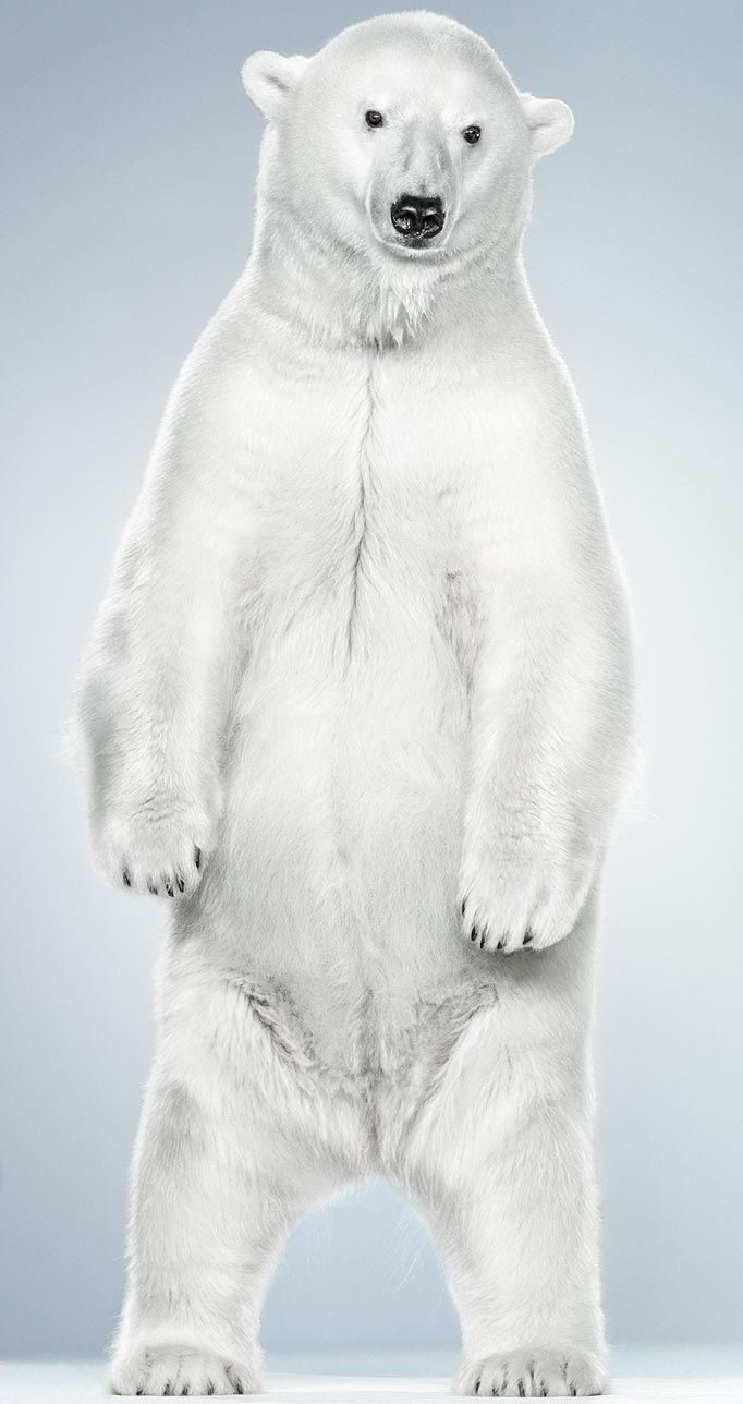 how to draw a polar bear standing up 86468 infobit