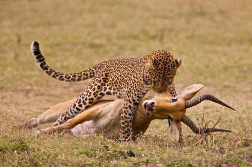 What Do Leopards Eat | Leopards Diet