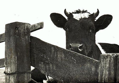 Curious Cow by Willem Van Cleef