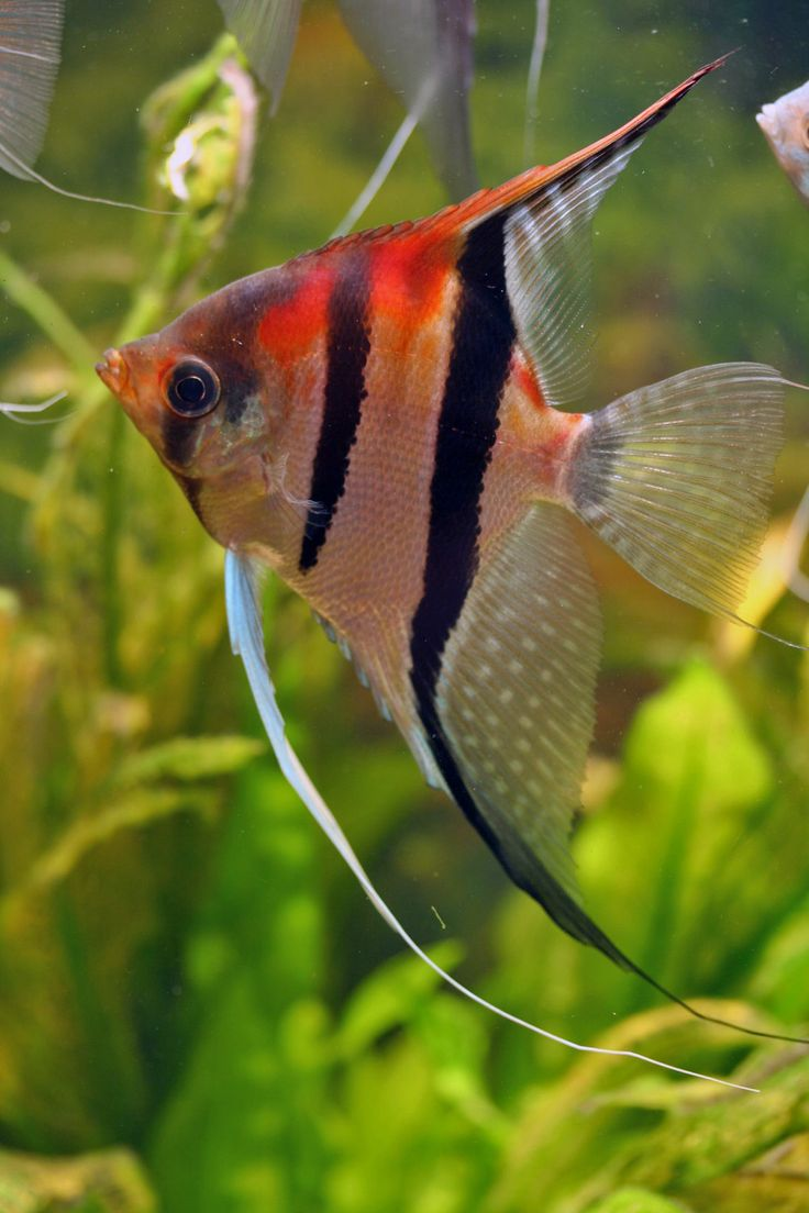 Freshwater aquarium odd fish - Red Shoulder Manacapuru Cichlid Aquariumfish
