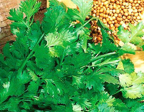 выращивание кориандра из семян