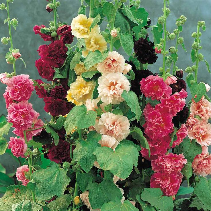 Hollyhock cottage garden