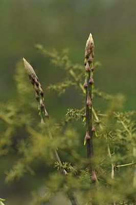 The Garden of Eaden: HOW TO GROW ASPARAGUS FROM SEED