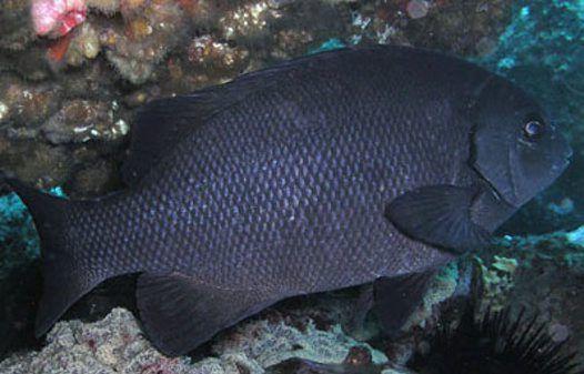 Rock Blackfish at Bermagui