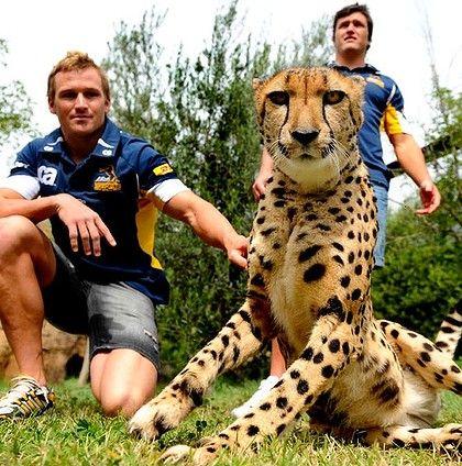 Matt Giteau and  Adam Ashley-Cooper meet Nova, a  Cheetah at the National Zoo and Aquarium.