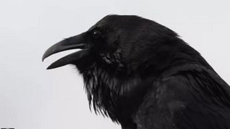 День Вороны – День Весны | Уральский меридиан