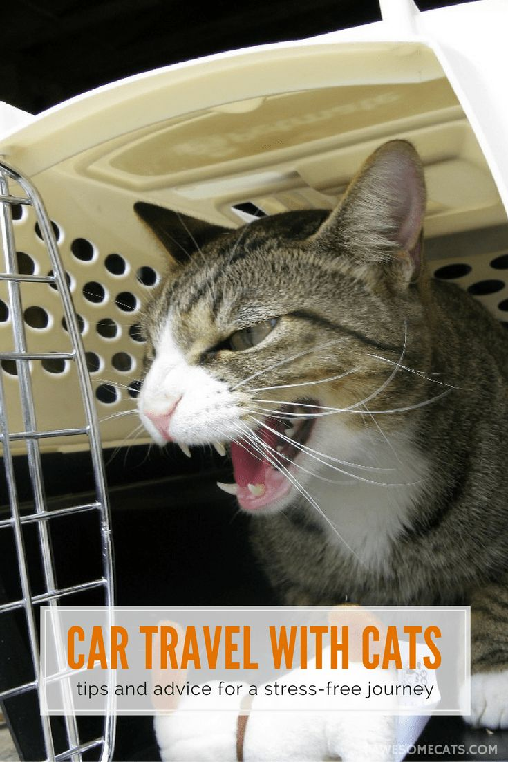 Automobile Journey With Cats – Suggestions & Recommendation