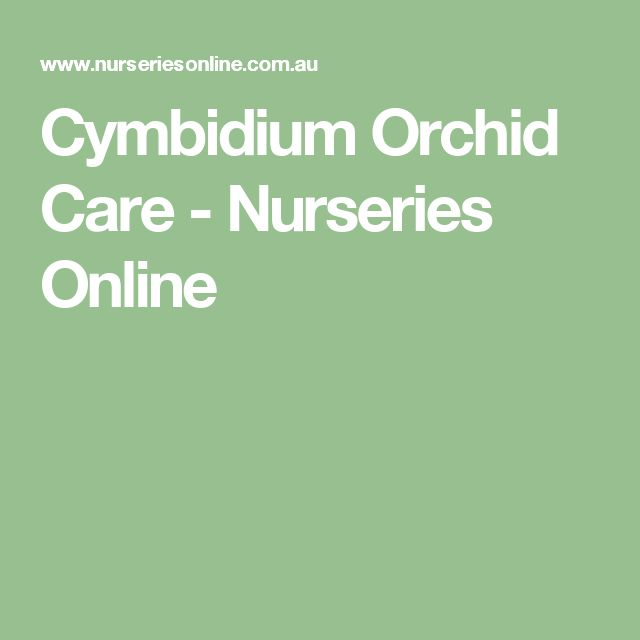 Cymbidium Orchid Care - Nurseries Online