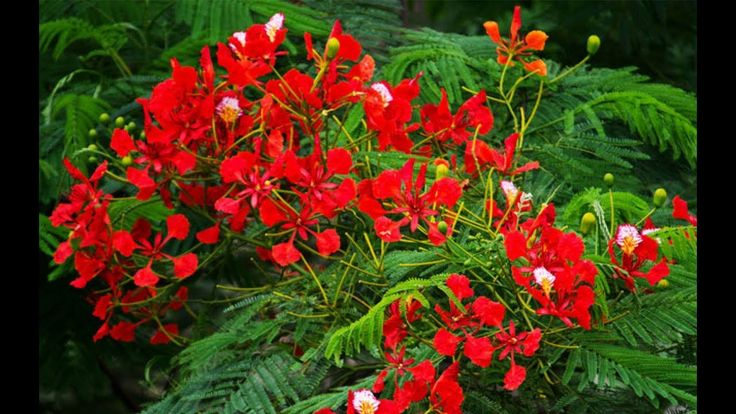 Butea Monosperma || Flame of the Forest Flower || কষণচড ফল || Krishnachura || Delonix Regia Butea Monosperma || Flame of the Forest Flower || কষণচড ফল || Krishnachura || Delonix Regia Butea monosperma is a species of Butea native to tropical and sub-tropical parts of the Indian Subcontinent and Southeast Asia ranging across India Bangladesh Nepal Sri Lanka Myanmar Thailand Laos Cambodia Vietnam Malaysia and western Indonesia. Common names include flame-of-the-forest and bastard teak. It is a…