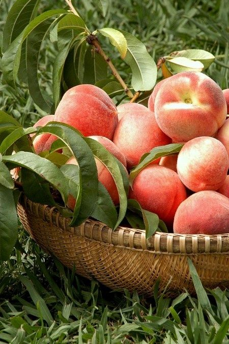 Summer Peach Harvest
