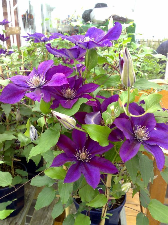 The 48 best a f garden mood board rounday oriental opulence images clematis picardy from raymond evisons boulevard collection sometimes flowers in semi double form masses of flower from may to oct from top to bottom mightylinksfo