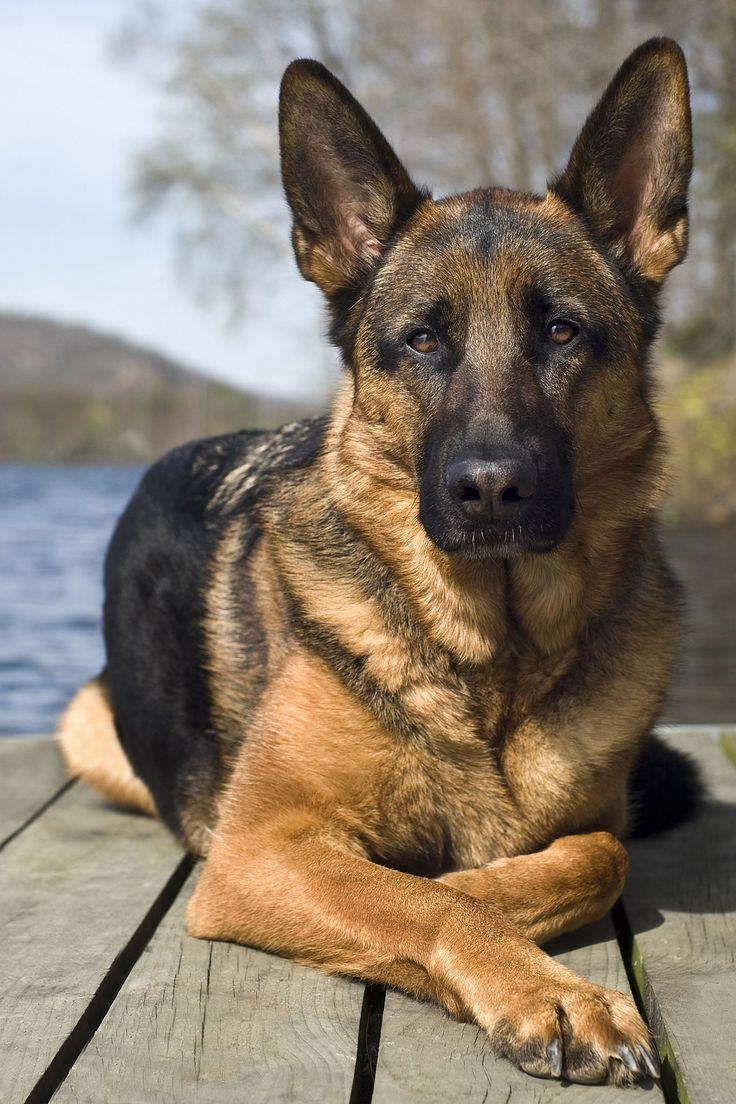 2616 Best German Shepherd Dogs Images On Pinterest