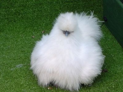 silkie bantam chicken, this breed is one-third to one-fifth the size of regular chickens