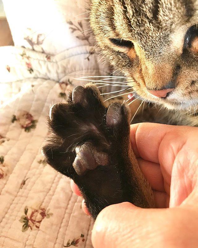 肉球マッサージが大好きなピース😻リラックスして前足も後ろ足も広げてパー🖐します😊猫ちゃんの肉球はモチモチプニプニしててマッサージやってる私も気持ちいい❣️お互い癒される〜💕人の足裏の様にツボがあるらしい😊ねこ #猫好き #猫2匹 #アメリカンショートヘア #ブラウンタビー #ねこのいる生活 #ねこのいる暮らし #愛猫 #猫の写真 #猫の肉球 #肉球