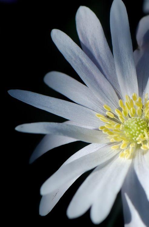 Anemone Blenda White