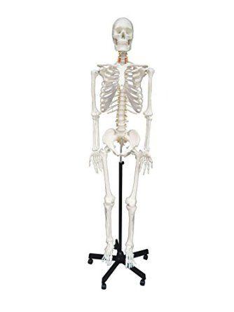 ... Wellden Product Life-size Medical Anatomical Human Skeleton Model, 170cm, w/Nerves