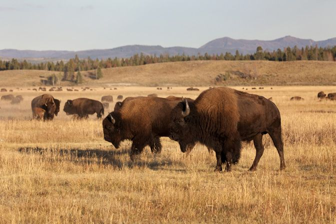 American Buffalo | ... Bison Hunting Ranch | History of the American Buffalo (Bison