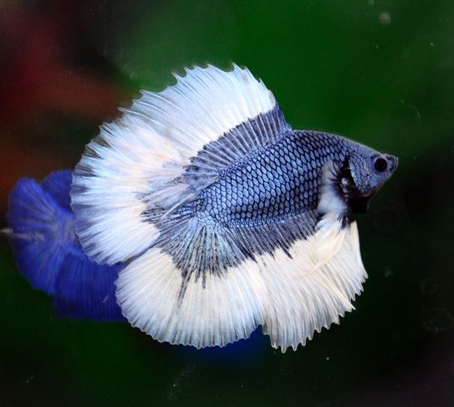 99 best bettas fish images on pinterest for Betta fish together