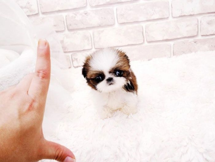 Teacup Shih Tzu Small Cute And Adorable Dog Shih Tzu Puppies
