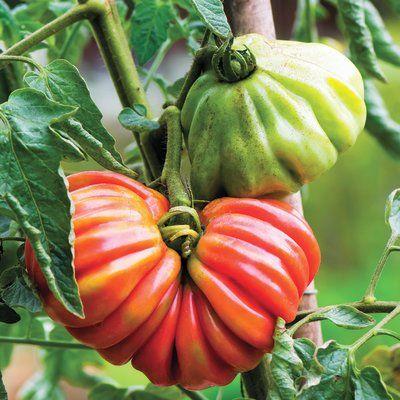 'Pink Accordion' tomato