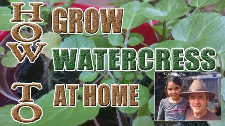 Learn How to Grow Watercress at Home in Containers. It really is simple to grow at home.  It's also extremely healthy and classed as a super food. Watch the video tutorial now!