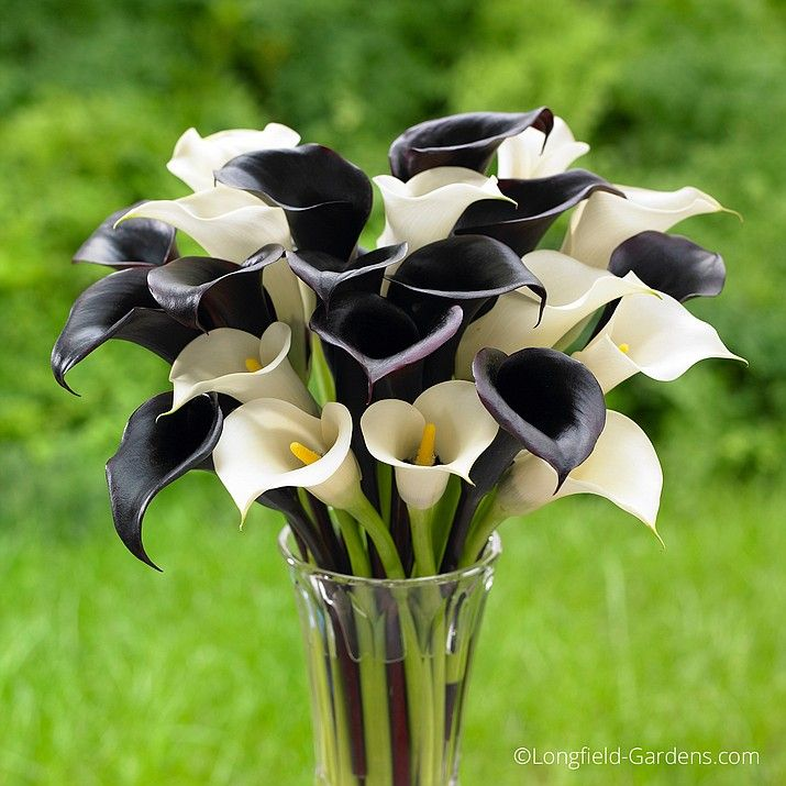 When Planting Calla Lilies The Black Flowers Of Night Cap Teamed With The Calla Lily Bulbs Planting Bulbs Longfield Gardens