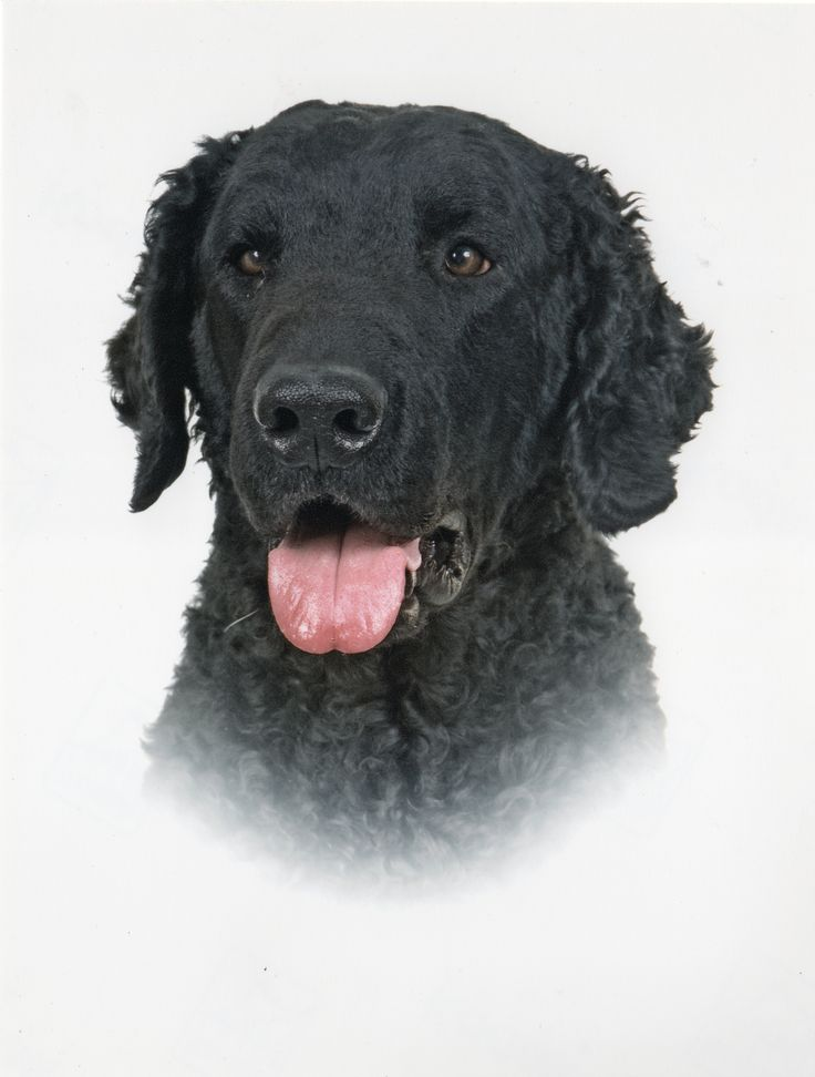 121 best Curly Coated Retriever images on Pinterest