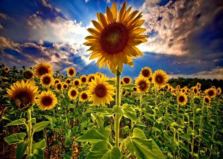 Field Of Sunflowers Wallpaper: Best 25+ Sunflower Pictures Ideas On Pinterest