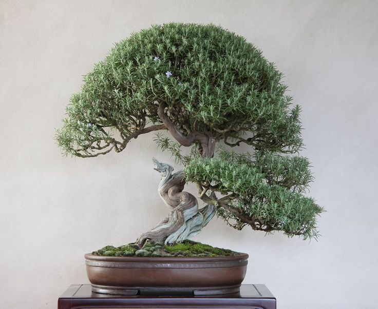 """Strange plant rosemary. is a coniferous trees blooming. Its name comes from the Latin """"Ros Maris"""" or dew of the sea"""