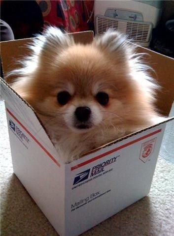 pomeranian delivery!: Pompom, Pomeranians Puppies, Pet, Care Packaging, Ships, Pom Pom, Mail Boxes, Special Delivery, Animal