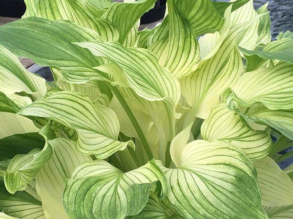 Buy hosta Hosta 'White Feather (undulata)': Delivery by Crocus