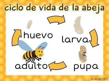 We just happen to be doing life cycles right now as it is! Bee life cycle FREEBIE bilingual