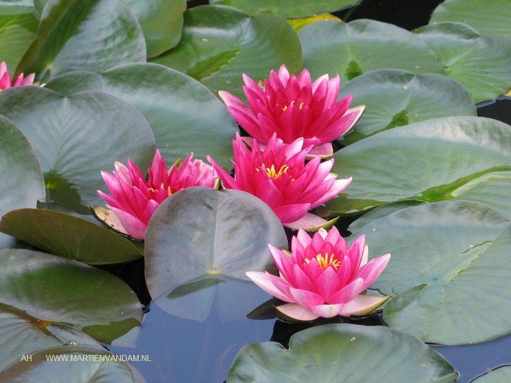 Nymphaea = waterlelie, de bladeren bieden vissen schuilplaats en zorgen voor koelte in de vijver. De bloemen zijn in vele maten (voor kleine vijvers dus kleine bloemen) en kleuren te krijgen. Ze openen zich rond 11 u. en sluiten in de middag.